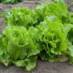 lettuce vegetable garden